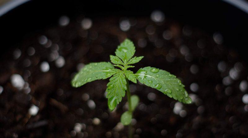 Kanada se po roce od legalizování marihuany pro rekreační účely probouzí ze sna
